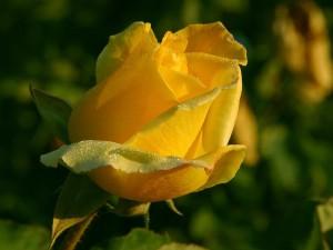 rose 1 bg 100502 300x225 Stimulating Statement: 5/31/2011